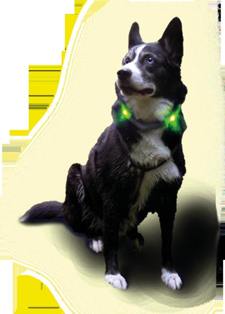 LED Leuchthalsband LEUCHTIE Plus mit Husky
